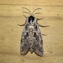 Carpenterworm Moth
