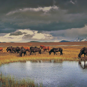Horse by the pond by Kristján Karlsson - Animals Horses ( wild, iceland, nature, horses, cloudy, landscape )