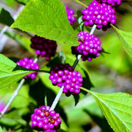 American Beautyberries by Elfie Back - Nature Up Close Leaves & Grasses ( purple berries, american beautyberries, callicarpa, wild berries, berries,  )