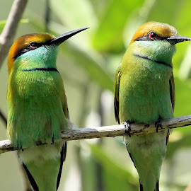 Green Bee-eaters by Sankaran Balaji - Animals Birds ( animals, bird of prey, nature, green bee-eaters, birds )