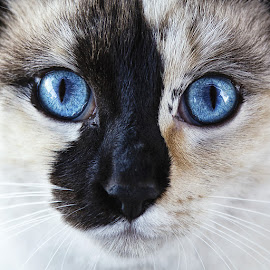 Intriguing Saphire  by Dustin Olsen - Animals - Cats Portraits ( cats, cat eyes, pets, blue eyes, eyes,  )