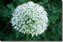 Allium 'Mount Everest'