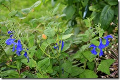 Salvia patens 'Cambridge Blue' og Rosa 'Gramham Thomas'