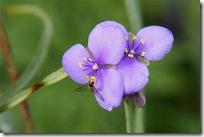Tradescantia og blomsterflue