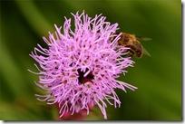 Liatris og bie