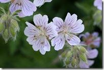 Geranium ibericum 'White Zigana'