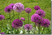 Allium aflatuense &#39;Purple Sensation&#39;