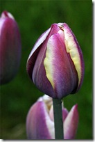 Tulipa &#39;Atlantis&#39;