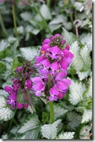 Lamium maculatum