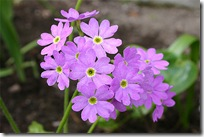 Primula saxatilis