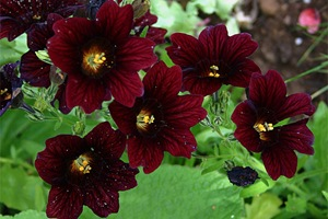 Salpiglossis