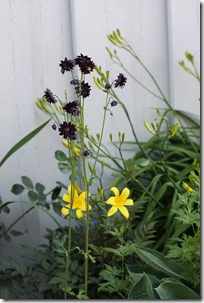 AquilegiaBlackBarlow2
