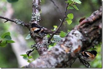 Bjørkefink