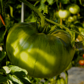 Fresh Green Tomatoes by Matthew Lynam - Food & Drink Fruits & Vegetables ( greendale, vine, green, beefsteak, hothouse, tomatoes )