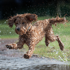 yippe by Michael  M Sweeney - Animals - Dogs Running ( labradoodle, joy, puppy, michael m sweeney, run, dog, fast )