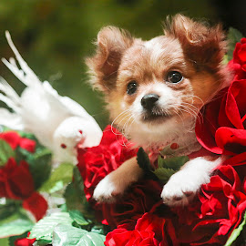 My Puppy Portrait by Khaing Nyein - Animals - Dogs Puppies ( bird, rose, animals, chihuahua (smooth coat), red, fur, red rose, brown, puppy, chihuahua, puppy portrait )