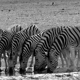 Zebras Black and White by Martin Lee - Novices Only Wildlife ( wildlife, zebra, namibia )