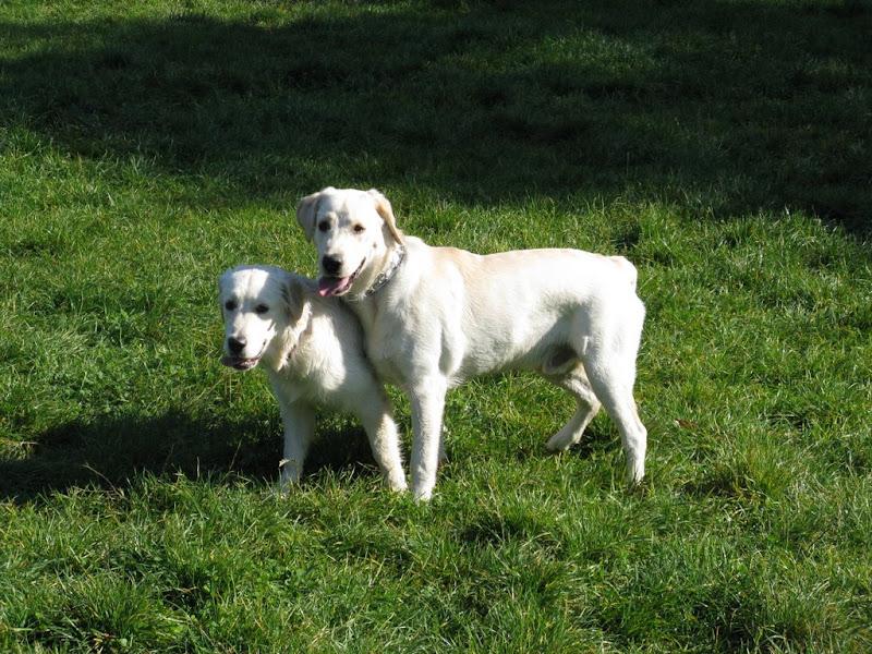 Golden Retriever i Labrador Retriever