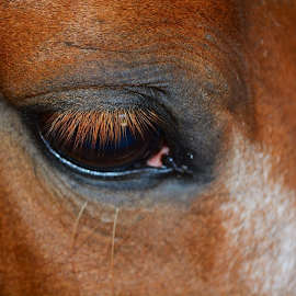 I'd kill for lashes like these! by Wendy Greenhut - Animals Horses ( horse, eyelashes, ig_captures, ig_captures_animals, equineassistedtherapy, florida, igers_fla,  )