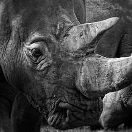 Rhino Horn by Ceri Jones - Animals Other Mammals ( rhinonous, power, horn, rhino, large )