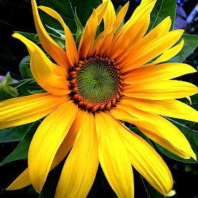 Green Center Sunflower by Roxanne Dean - Flowers Flower Buds ( sunflowers petals leaves green center,  )