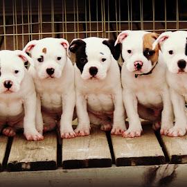 Spectators by Tasha Chasteen's AmericanBulldogs - Animals - Dogs Puppies ( bulldog, bulldog puppy, cute puppy, american bulldog, cute, cute dog )