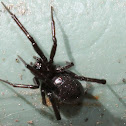False katipo spider
