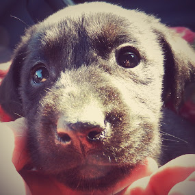 Eyes of One Month Old Puppy by Nat Bolfan-Stosic - Animals - Dogs Puppies ( home, new, puppy, labrador, eyes )