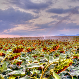 Sunflower field by Stratos Lales - Landscapes Prairies, Meadows & Fields ( clouds, field, agriculture, sunflower, irrigation, Hope )