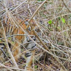 THE TIGER by Prajwal Rajappa - Animals Lions, Tigers & Big Cats