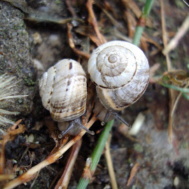 Mollusca Friends by Kmetica Vesela - Novices Only Wildlife ( urban, shell, two, friends, beautiful, white, amateur, interesting, snail, garden, mollusca, photography,  )