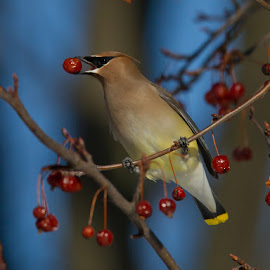 Cedar Waxwing by David Trescak - Animals Birds ( bird, berry, food, cedar, waxwing )