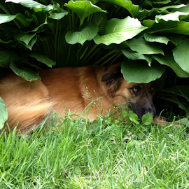by Susan Luther - Animals - Dogs Playing ( puppies, shade, dog, hosta, hide and seek )