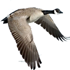Waterfowl Call icon
