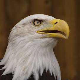 Sunday 7 by Garry Chisholm - Animals Birds ( bird, eagle, nature, wildlife, prey, raptor, bald, chisholm, garry )