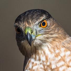 Coopers Hawk by Mike Watts - Animals Birds ( coopers hawk, hawk )