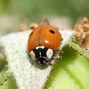 two-spot ladybird. Mariquita dos puntos