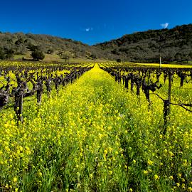 Napa Mustard  by Kevin Denton - Landscapes Prairies, Meadows & Fields ( california, landscape, napa california, napa )