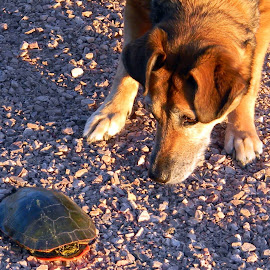 An old pic of Holly encountering her first turtle, in honor of National Dog Day by Liz Hahn - Animals - Dogs Playing