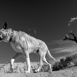 by Michael Keel - Animals - Dogs Portraits ( death valley, desert, red rock, joshua tree, dog )