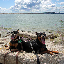 my min pins by Carol Cooper - Animals - Dogs Portraits ( water, dogs, landmarks, bridges )