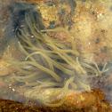 Snakelocks Anemone / Smeđa vlasulja