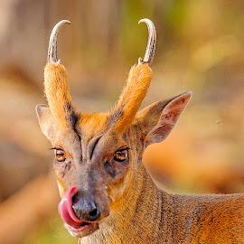 Cleansing act by Matrishva Vyas - Animals Other Mammals ( tongue, light, barking deer, lick, deer )