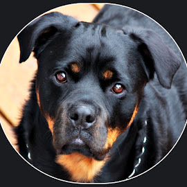 Mr Rutger  by Carol Langsford - Animals - Dogs Portraits ( dog, black, pretty eyes, rottweiler )