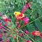 Malinche plant