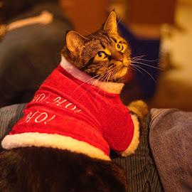 SEASONS Greetings. by Frank Fronteddu - Animals - Cats Portraits ( cat santa clause, cat portrait, christmas cat, cats clause, kittie xmas )
