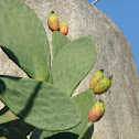Indian fig opuntia (Fico d'India)