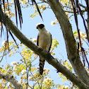 halcón guaco - guaicurú - laughing falcon