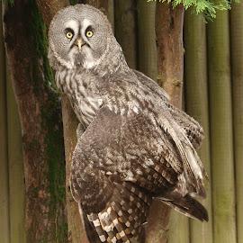 Great Grey display by Garry Chisholm - Animals Birds ( bird, nature, owl, wildlife, prey, raptor, grey, chisholm, garry )