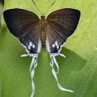 Black Fairy Hairstreak